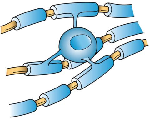 La part des oligodendrocytes